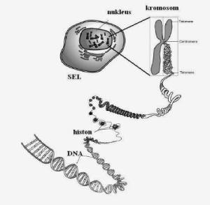 Materi Genetis : Kromosom dan Gen Beserta Contohnya