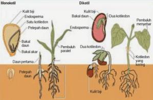 Perbedaan Ciri-ciri Tumbuhan Dikotil dan Monokotil Beserta Contohnya
