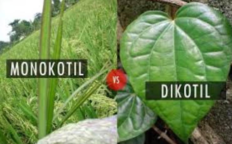 Perbedaan Ciri Ciri Tumbuhan Dikotil Dan Monokotil Beserta Contohnya
