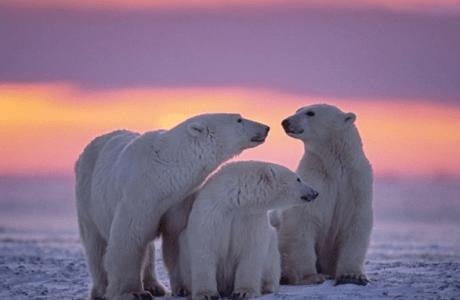 Fakta Menarik dan Unik Seputar Beruang Kutub untuk Anda Ketahui