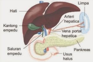 Hubungan Antara Puasa dengan Menjaga Kesehatan Organ Hati