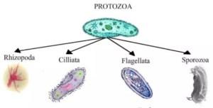 Pengertian Protozoa, Klasifikasi, Ciri-ciri, Alat Gerak, dan Gambarnya