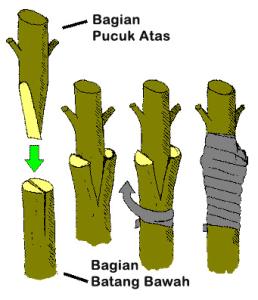 Macam-macam Perkembangbiakan Vegetatif Buatan pada Tumbuhan dan Contohnya