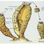 Sebutkan tiga jenis perkembangbiakan vegetatif pada hewan!