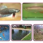 Materi Budidaya Ikan Hias Prakarya Kelas 9 SMP K13 Edisi Revisi 2018