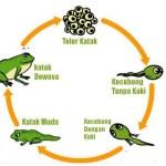 Siklus Hidup Hewan (Metamorfosis dan Metagenesis) Beserta Contohnya