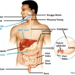 Pengertian Pencernaan Mekanik dan Kimiawi serta Perbedaannya