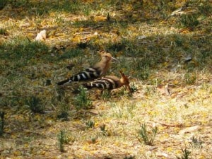 hoopoes-in-israel