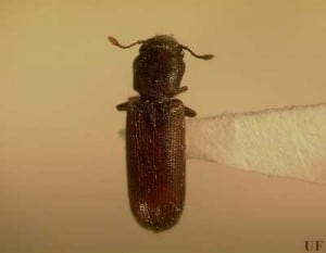 Southern Lyctus Beetle Commonly Infecting S'chach