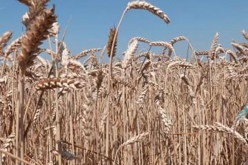 aliments éviter allaitement blé