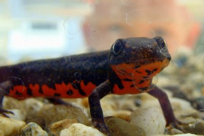 Chinese Fire Belly Newt Facts and Pictures