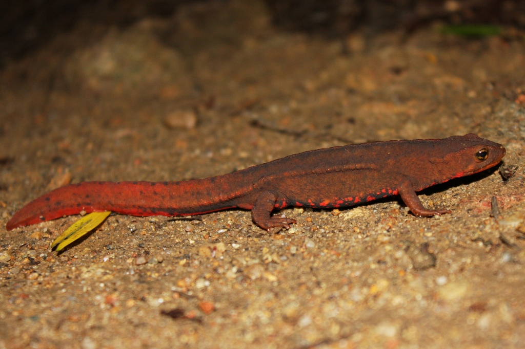 Hong Kong Newt Facts and Pictures