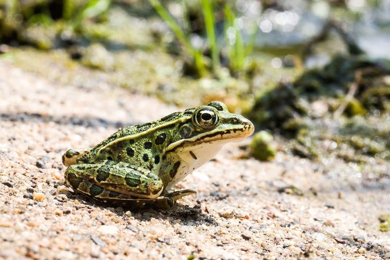 Leopard Frog Vs Pickerel Frog Do You Know The Differences