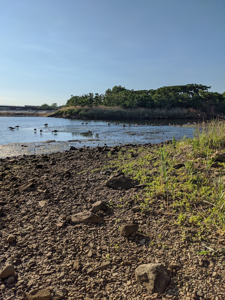 Image shows a river at low tide with grass and rocks on the shore and ducks and seagulls grazing