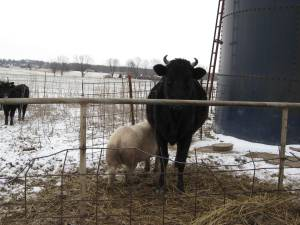 Unlikely friends, pig nursing from cow.