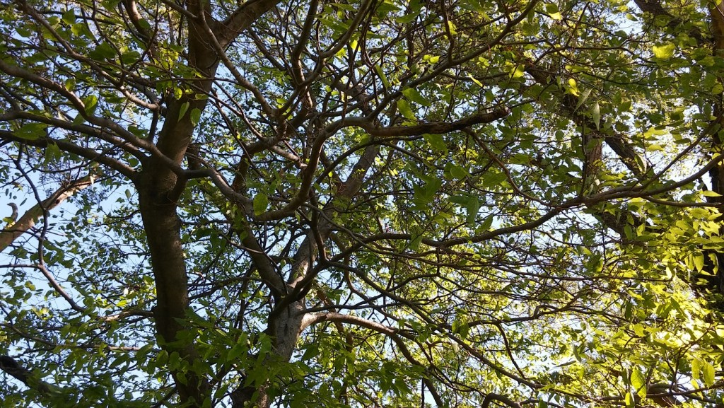 Hackberry trees, family visits