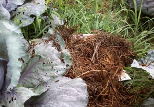 Newspaper and hay make a good mulch.