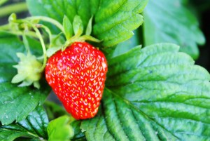 How to Prepare Strawberry Plants for Winter.