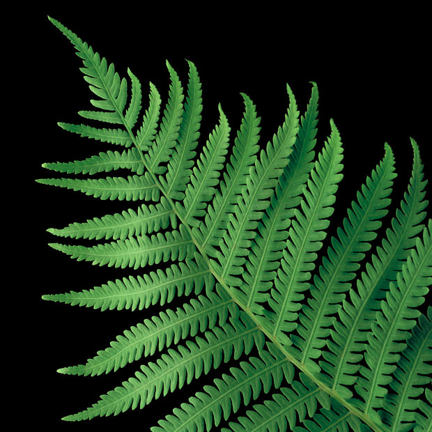 Ostrich Fern  Amy Lamb Studio LLC