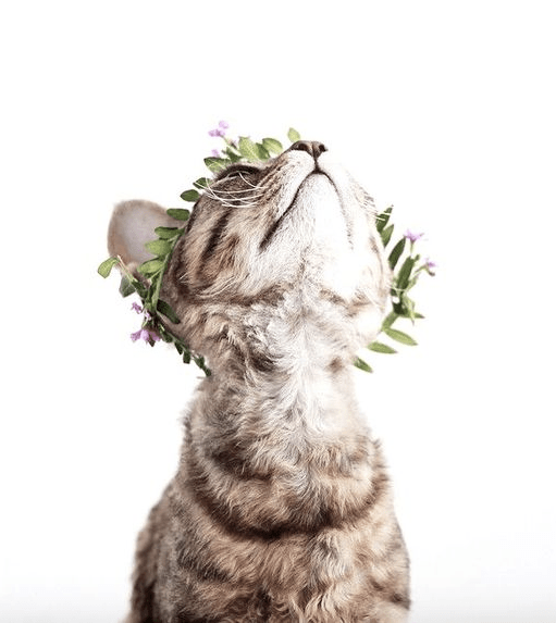 Tabby kitten staring up against a white background wearing a tiny crown of leaves and flowers. The kitten's eyes aren't visible - just their super soft little chin.