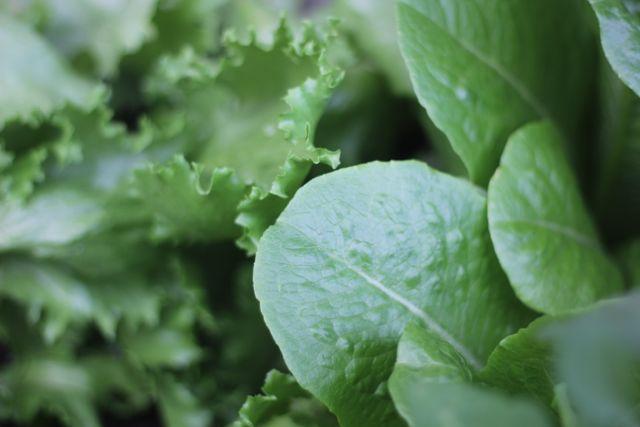 Two types of lettuce in garden