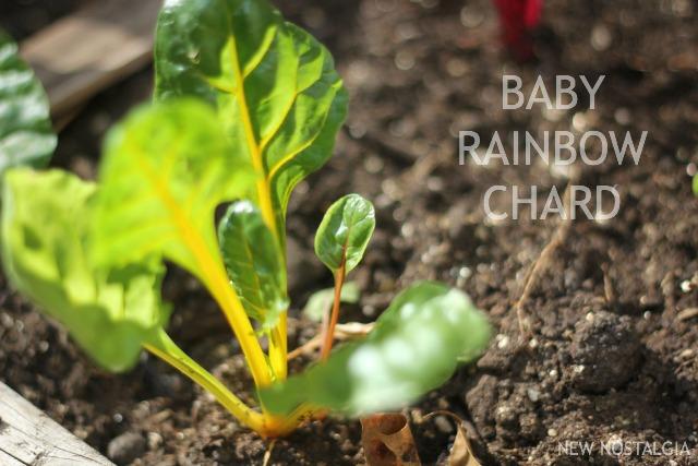 BABY-RAINBOW-CHARD