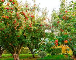 Elma Ağacı Nedir? Kaç Çeşit Elma Vardır?