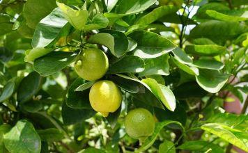 Manfaat Rendaman Air Lemon Hangat di Pagi Hari