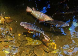 Rahasia Budidaya Ikan Nila Tanpa Pelet