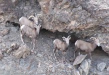Sigue prohibida en B.C. la caza del Borrego CimarrónSEST