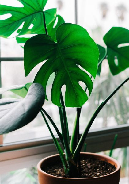Monstera Deliciosa plant in pot.