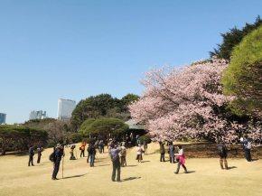 Los japoneses veneran la flor del cerezo porque dicen que representan la belleza y fugacidad de la vida y llegan incluso a rendirles tributo en forma de picnic/ Foto: Turismo de Japón