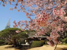 Millones de personas acuden a los parques con cerezos para fotografiarlos y celebrar la aparición de estas flores/ Foto: Turismo de Japón