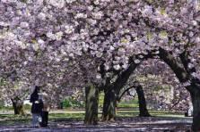 Tokio abunda en lugares para ir a ver los cerezos y la pasión que despiertan sus flores en Japón es tal que hasta de noche las iluminan para poder disfrutarlas más tiempo/ Foto: Turismo de Japón