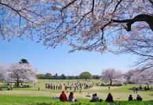 En el Showa Kinen Park se puede hacer un poco de todo: pasear entre árboles, dar un paseo en bici, disfrutar en verano de un remojón en sus piscinas y toboganes, montar en barca o visitar su galería de bonsais y su jardín japonés, espectacular con sus cerezos en flor/ Foto: Turismo de Japón