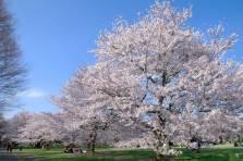 El Showa Kinen Park es gran parque de 163 hectaréas que se creó para conmemorar el cincuenta aniversario del emperador Showa/ Foto: Turismo de Japón