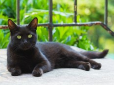 Mixed breed black cat resting on the porch.