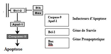 Acteurs moléculaires de l'apoptose
