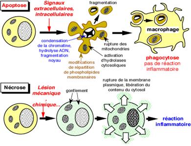 Nécrose apoptose