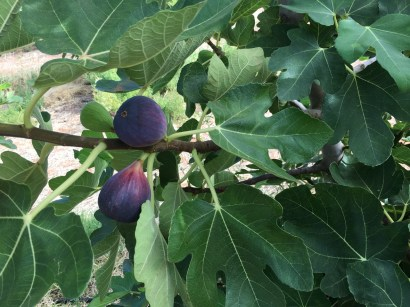 We worked in an orchard, picking figs and other fruits. We ate soooo many figs, not missing them yet hehe
