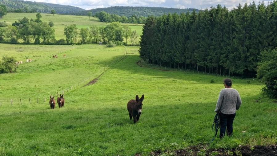 Des ânes du Poitou, dans un pré. Nathalie est en haut à les attendre