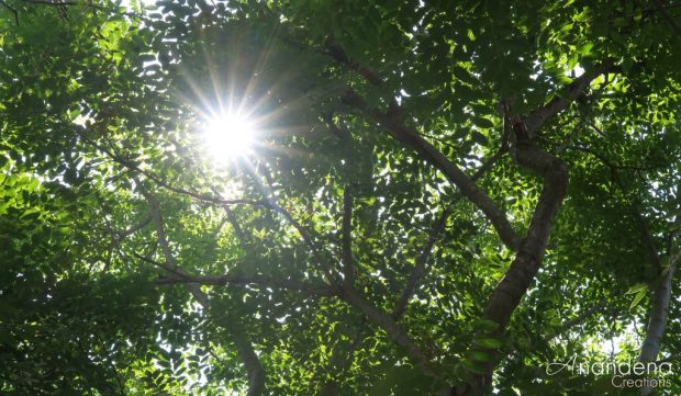 looking up at the tree canopy with starburst sun flare peeking through the leaves