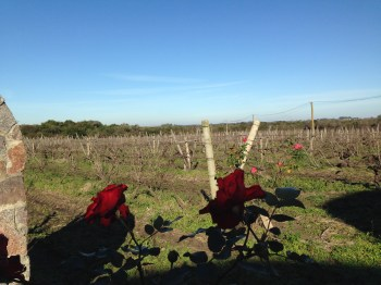 Os primeiros vinhedos da Irurtia (tem muito mais...)