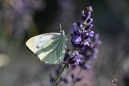 Weißling auf Lavendelblüte