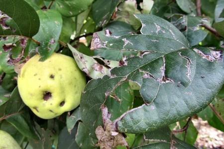Gar nicht schöne Hagelschäden hinterließen drei Unwetter am sonst so gesunden Quittenbaum. Die anderen Bäumchen sehen allerdings teils noch schlimmer aus.