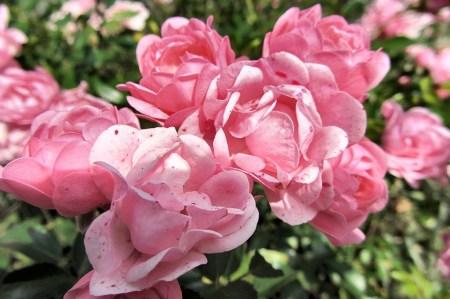 Während die Obstbäume derzeit noch ein Bild des Jammers sind, haben sich die Rosen längst von den Unwettern erholt und blühen wieder fast wie neu.