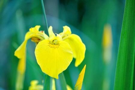 Eine gelbe Iris wächst beim alten Gartenteich. Dieser ist momentan noch ein herrliches Fotomotiv, bald muss er aber wohl weichen. (Foto: Martin Dühning)
