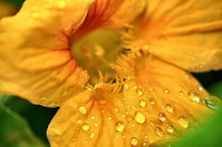 Kapuzinerkresse sieht auch bei Regen noch sommerlich schön aus.