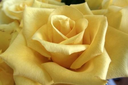 Eine goldige Rose lacht mich an.