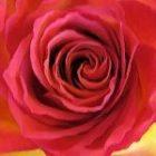 Schöne Rosen für 3 EUR